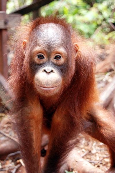 orang-utans in Borneo.