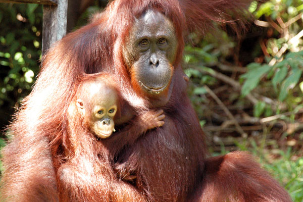 orang-utans facing extinction.