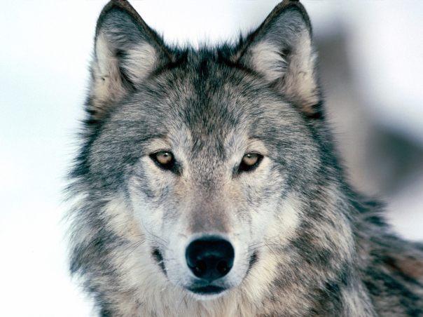 grey-wolf-03